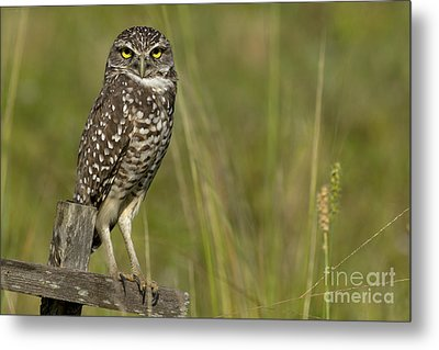 Burrowing Owl Stare Metal Print