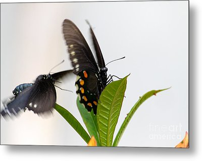 Butterflies Playing Metal Print by Jay Nodianos