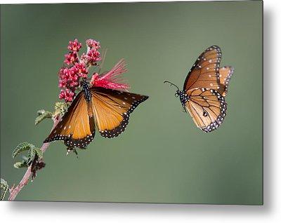 Butterfly Flight Metal Print by Jeff Wendorff