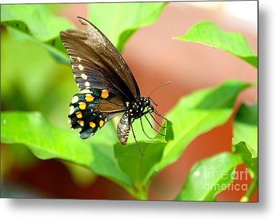 Butterfly Nesting Metal Print by Jay Nodianos