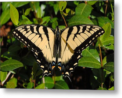 Butterfly Metal Print by Robert  Moss