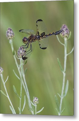 Calico Pennant On Centaurea Metal Print