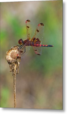 Calico Pennant On Dried Flower Metal Print
