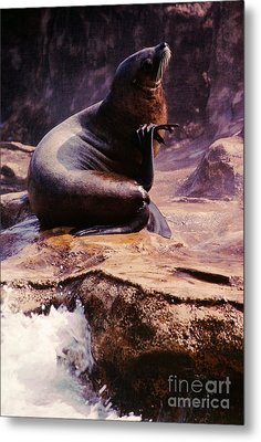 California Sea Lion Raising A Flipper Metal Print by Anna Lisa Yoder