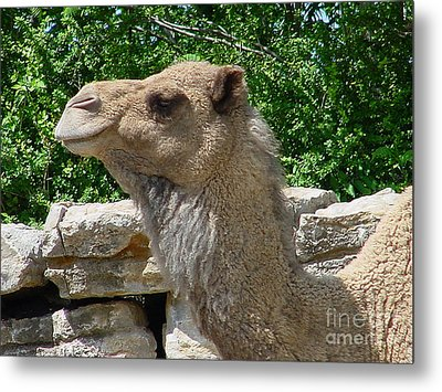 Camel Metal Print by Gary Gingrich Galleries