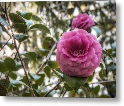 Camellia Sparkle Metal Print by Loree Johnson