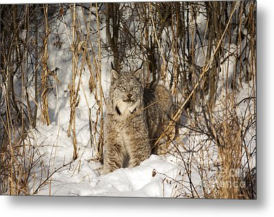 Camouflaged Metal Print by Wildlife Fine Art