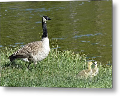 Canada Goose Mom With Goslings Metal Print by Bruce Gourley