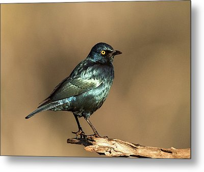 Cape Glossy Starling On A Perch Metal Print by Tony Camacho