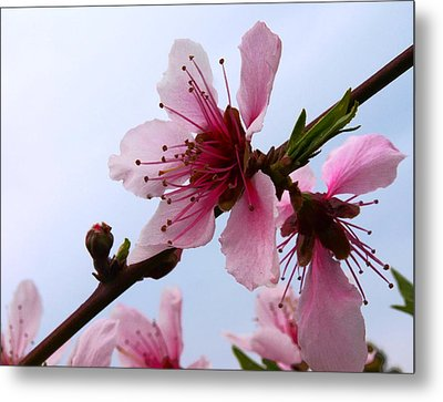 Cherry Blossom Metal Print by Camille Lopez