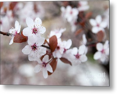 Cherry Blossoms Metal Print by Hannes Cmarits