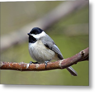 Chickadee Metal Print by Susan Leggett