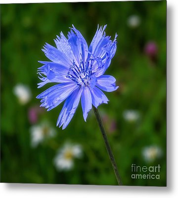 Chicory - Wildflower Metal Print