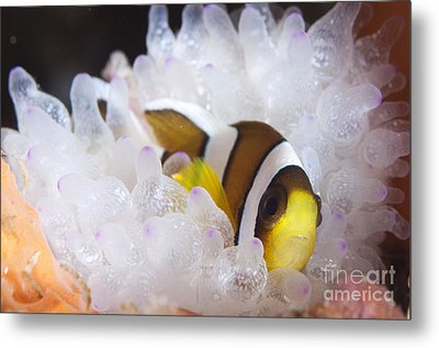 Clarks Anemonefish In White Anemone Metal Print by Steve Jones