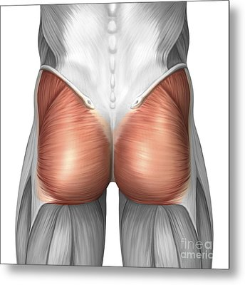 Close-up View Of Human Gluteal Muscles Metal Print by Stocktrek Images