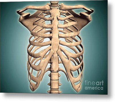 Close-up View Of Human Rib Cage Metal Print by Stocktrek Images