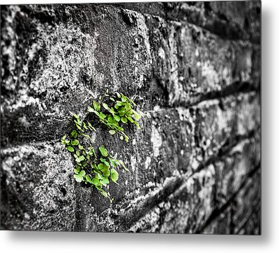 Clover On The Wall Metal Print by Andrew Crispi