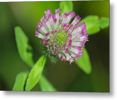 Clover Metal Print by Tracy Male