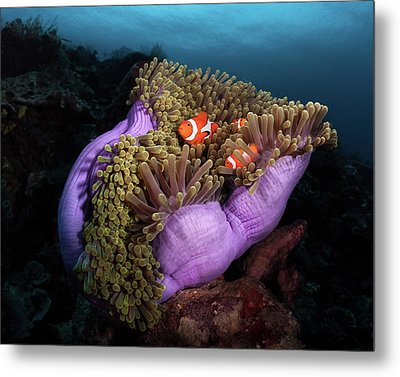 Clown Fish With Magnificent Anemone Metal Print