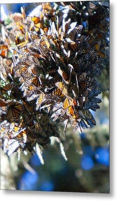 Clustering Monarch Butterflies Metal Print by Patricia Sanders