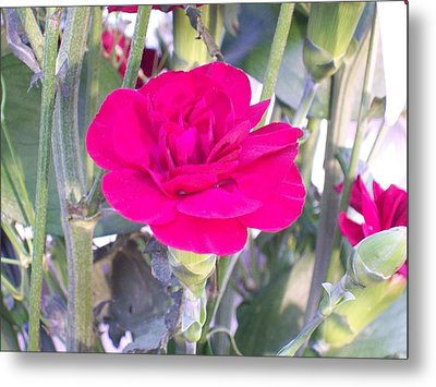 Colorful Carnation Metal Print by Belinda Lee