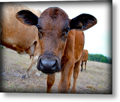 Metal Print featuring the photograph Come Close For A Cow Kiss by Amanda Vouglas