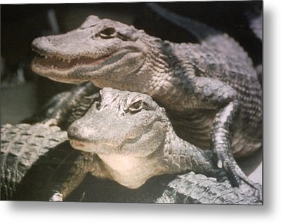 Florida Alligators Come Closer Metal Print by Belinda Lee