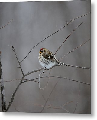 Metal Print featuring the photograph Common Redpoll by David Porteus