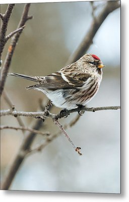 Common Redpoll Metal Print