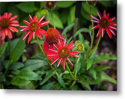 Coneflowers Echinacea Red  Metal Print