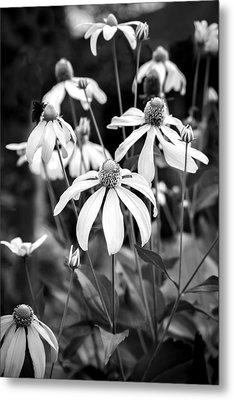 Coneflowers Echinacea Yellow Bw Metal Print