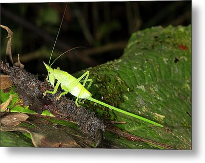 Conehead Katydid With Long Ovopositor Metal Print