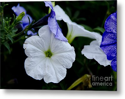 Cool Summer Petunias Metal Print by Wilma  Birdwell