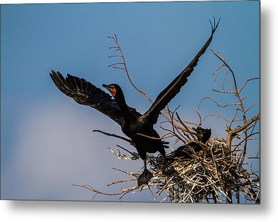 Cormorant Parent Flying Out Metal Print by Andres Leon