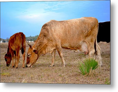 Metal Print featuring the photograph Cow Photo 2 by Amanda Vouglas