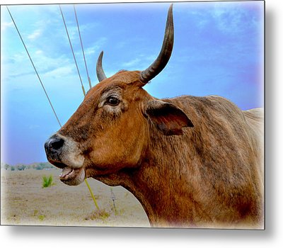 Metal Print featuring the photograph Cow Photo 3 by Amanda Vouglas