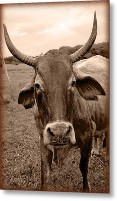 Metal Print featuring the photograph Cow Photo 5 by Amanda Vouglas
