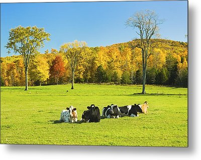 Cows Resting On Grass In Farm Field Autumn Maine Photograph Metal Print by Keith Webber Jr