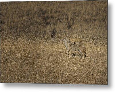 Coyote Standing In Field Of Dried Metal Print by Roberta Murray