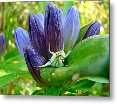Crab Spider On Closed Gentian Wildflower - Gentiana Andrewsii Metal Print by Mother Nature