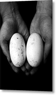 Crocodile Eggs Metal Print by Kim Lagerhem