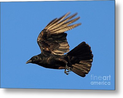 Metal Print featuring the photograph Crow In Flight by Meg Rousher