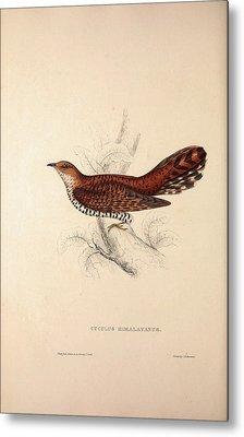 Cuculus Himalayanus, Himalayan Cuckoo. Birds Metal Print by Quint Lox