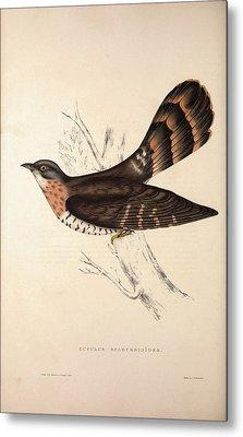 Cuculus Sparverioides, Large Hawk-cuckoo Metal Print by Quint Lox