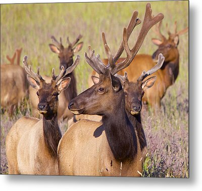 Metal Print featuring the photograph Curious Bull Elk by Todd Kreuter