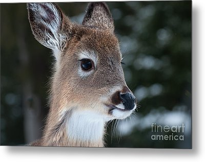 Metal Print featuring the photograph Curious Fawn by Bianca Nadeau