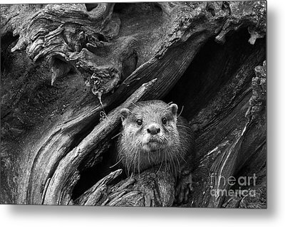 Metal Print featuring the photograph Curious River Otter by Inge Riis McDonald