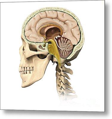 Cutaway View Of Human Skull Showing Metal Print by Leonello Calvetti