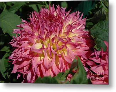Metal Print featuring the photograph Dahlia by Christiane Hellner-OBrien