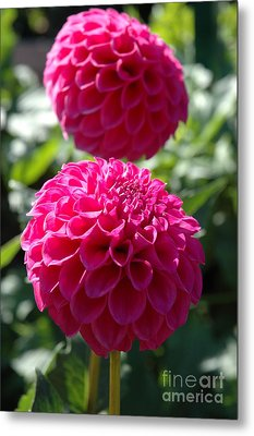 Metal Print featuring the photograph Dahlia Xi by Christiane Hellner-OBrien